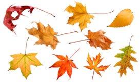 Folhas da queda isoladas na coleção branca do fundo fotografia de stock royalty free