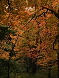 Folhas da queda na árvore na floresta fotos de stock royalty free
