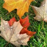 Folhas da queda no orvalho Imagem de Stock