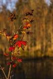 Folhas da queda no rio Fotos de Stock Royalty Free