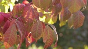 Folhas da queda que balançam em um leve vento video estoque