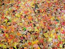 Folhas da queda, Utá Foto de Stock Royalty Free