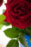 Folhas da rosa do vermelho Imagem de Stock Royalty Free