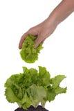 Folhas da ruptura do trabalhador da salada Foto de Stock Royalty Free