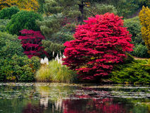 Folhas da árvore de Acer que mudam a cor Foto de Stock Royalty Free