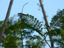 Folhas da ?rvore de seda fotos de stock