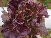Folhas da salada Foto de Stock