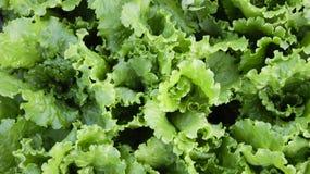 Folhas da salada Fotos de Stock