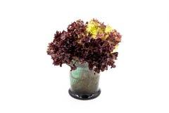 Folhas da salada, alface de folha vermelha Imagens de Stock Royalty Free