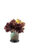 Folhas da salada, alface de folha vermelha Foto de Stock