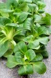 Folhas da salada de milho foto de stock