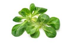 Folhas da salada de milho fotografia de stock