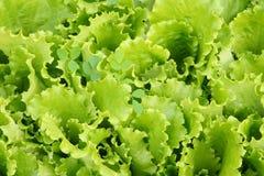 Folhas da salada em uma horta Fotografia de Stock