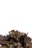 Folhas da salada, vermelho Romaine Lettuce do bebê Imagem de Stock Royalty Free