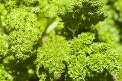 Folhas da salsa imagem de stock royalty free