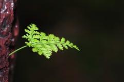 Folhas da samambaia Fotos de Stock