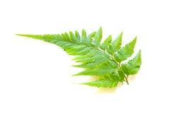 Folhas da samambaia em um fundo branco fotografia de stock