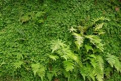 Folhas da samambaia na floresta úmida tropical Fotografia de Stock Royalty Free