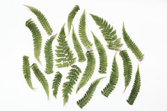 Folhas da samambaia no fundo branco Imagem de Stock
