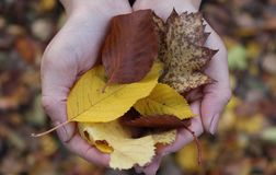 Folhas da terra arrendada da menina em suas mãos Imagens de Stock Royalty Free