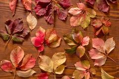 Folhas da trepadeira do arvoredo Fotografia de Stock Royalty Free