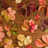 Folhas da trepadeira do arvoredo Imagem de Stock