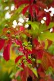 Folhas da uva Fotos de Stock