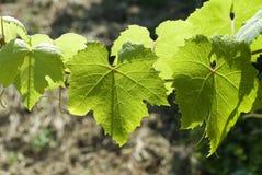 Folhas da uva Imagens de Stock