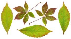 Folhas da uva Foto de Stock