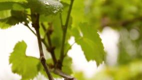 Folhas da uva através do sol brilhante do verão video estoque