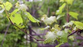 Folhas da uva através do sol brilhante do verão filme