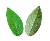 Folhas da uva-do-monte Imagens de Stock Royalty Free