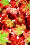 Folhas da uva do outono Fotografia de Stock Royalty Free