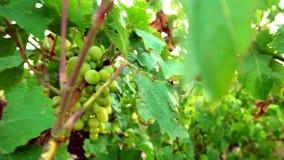 Folhas da uva no por do sol video estoque