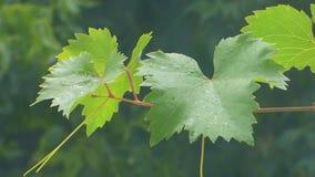 Folhas da uva que balançam no vento vídeos de arquivo