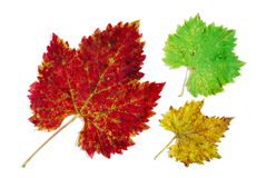 Folhas da uva verde, amarela e vermelha Fotos de Stock