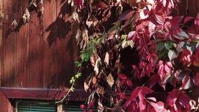 folhas da uva vermelha na parede vídeos de arquivo