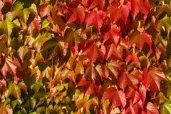 Folhas da uva vermelha no outono Fotos de Stock