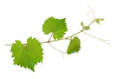 Folhas da videira Foto de Stock