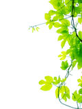 Folhas da videira Imagens de Stock Royalty Free