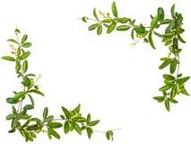 Folhas da videira com o quadro pequeno da flor isolado Fotografia de Stock