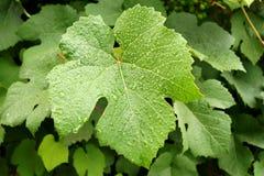 Folhas da videira com pingos de chuva Imagens de Stock Royalty Free