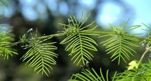 Folhas da videira de Cypress Fotos de Stock Royalty Free