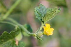Folhas da videira de melão com botão Fotografia de Stock