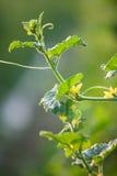 Folhas da videira de melão com botão Fotos de Stock Royalty Free