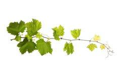 Folhas da videira isoladas no branco Fotografia de Stock Royalty Free