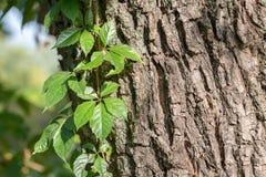 Folhas da videira virgem Imagem de Stock