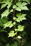 Folhas da vinha Fotografia de Stock