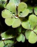 Folhas dadas forma coração com gotas da água Imagens de Stock Royalty Free