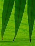Folhas dadas forma lança mostradas em silhueta contra uma folha de palmeira Foto de Stock
